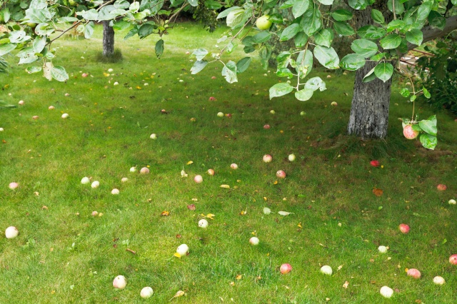 ripe apples lie on green grass under apple tree