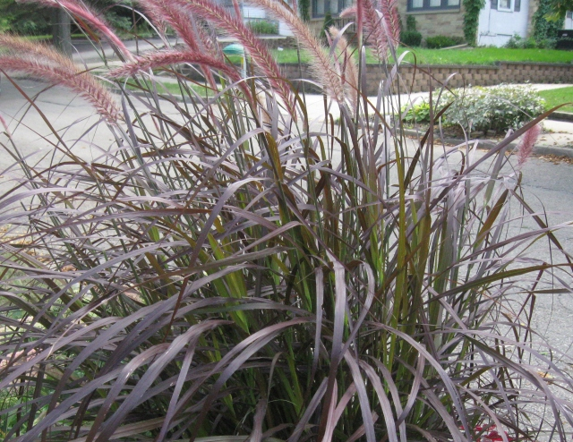 This is the grass I see when I open my front door and step down to the boulevard. It has grown into its fall glory.