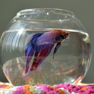 Aquarium with betta fish