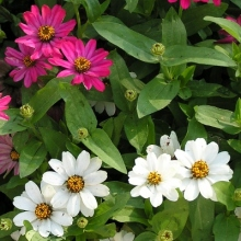 Zinnia flowers are my favorite and they love growing in my front yard.